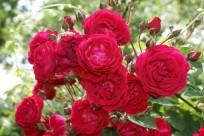 red-rose-bush